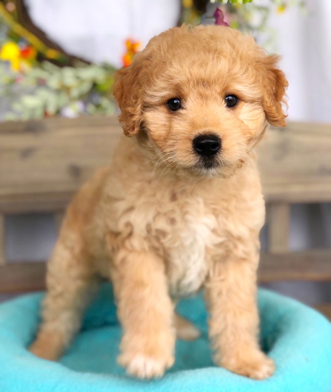 Mini Goldendoodle For Sale In Lynchburg Va Local Pet
