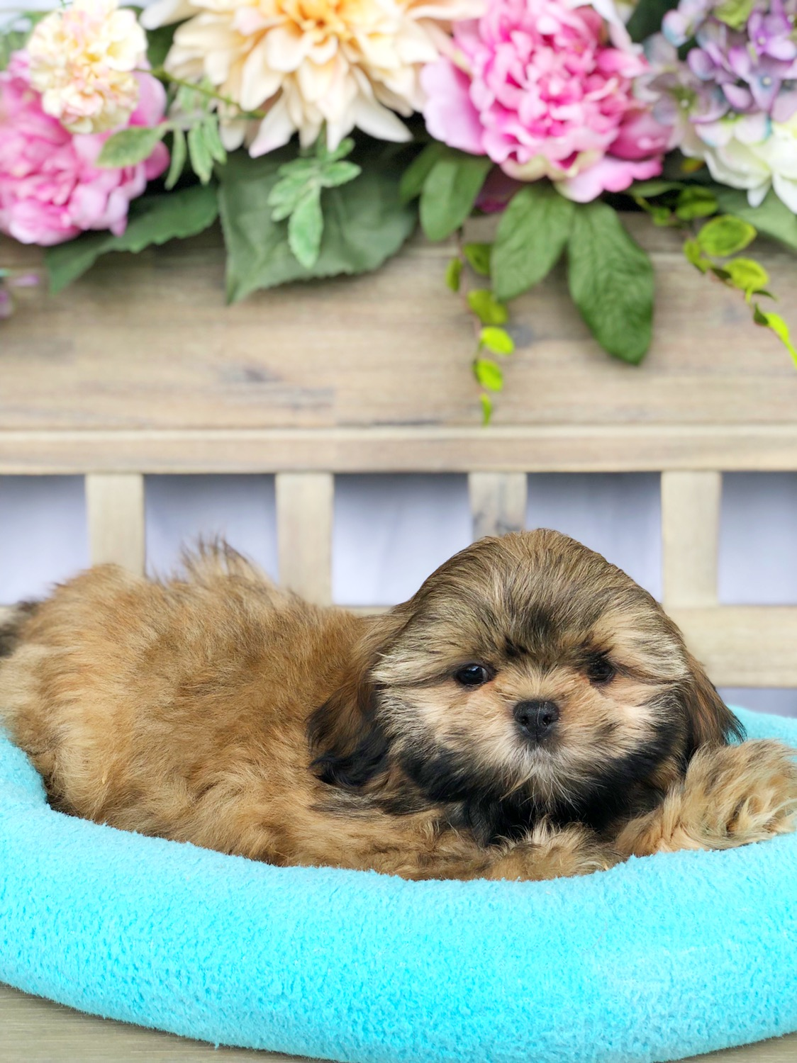 Shih-tzu For Sale in Lynchburg, VA - Local Pet Store | Petopia
